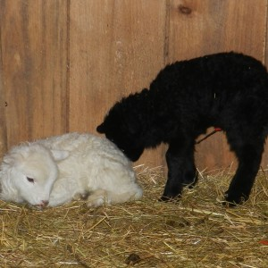 First Time Lambing At Your Farm ~ Step By Step Lamb Care At HiBar Ranch