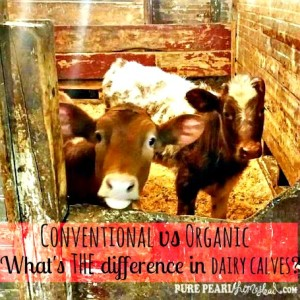 Raising Dairy Calves: The Similarities Between Conventional and Organic