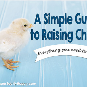 A Simple Guide to Raising Chicks