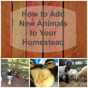 Adding New Poultry and Livestock to Your Homestead