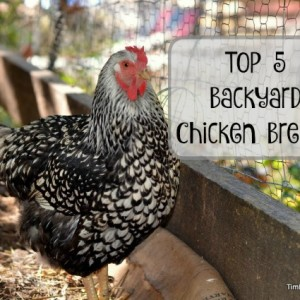 Top 5 Backyard Chicken Breeds