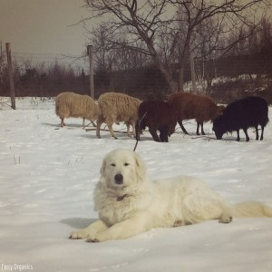Getting a Livestock Guardian Dog