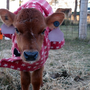 Raising a baby house cow
