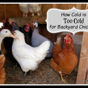 How Cold is Too Cold for Backyard Chickens?