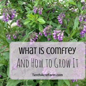 What is Comfrey and How to Grow It