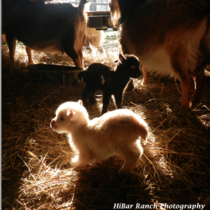 First Baby Goats of Season: What To Do When Babies Are Born In Cold Temperatures