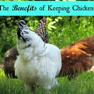 The Benefits of Keeping Chickens
