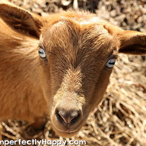The Best Dairy Goats for Beginners