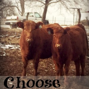 How to Choose the Perfect Bull for Heifers
