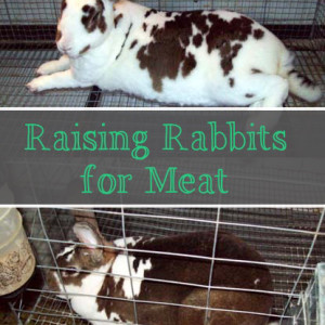 What We Learned Raising Meat Rabbits