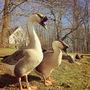 Escapades with Geese