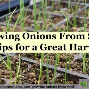 Growing Onions From Seed – 5 Tips for a Great Harvest