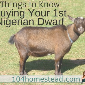 Getting Started With Nigerian Dwarf Goats