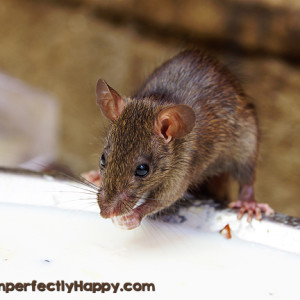 Tips for a Rodent Free Coop