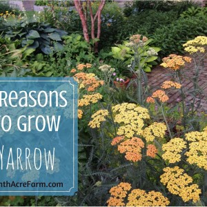 5 Reasons to Grow Yarrow
