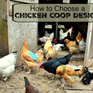What Kind of Chicken Coop Design is Best?
