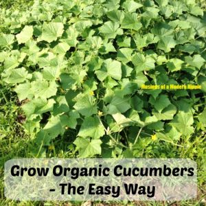Grow Organic Cucumbers – The Easy Way