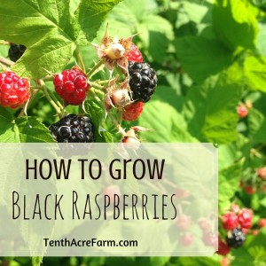 How to Grow Black Raspberries