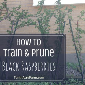 How To Train and Prune Black Raspberries