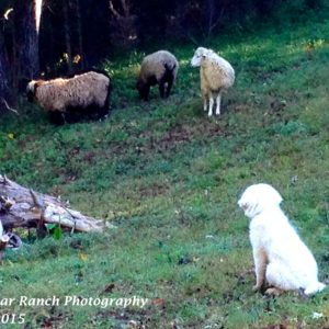 Using Livestock Guardian Dogs On Your Farm