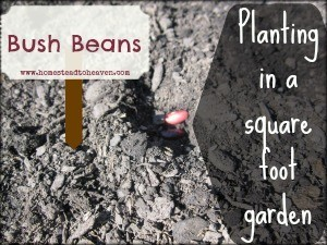 Bush Beans In Our Square Foot Garden