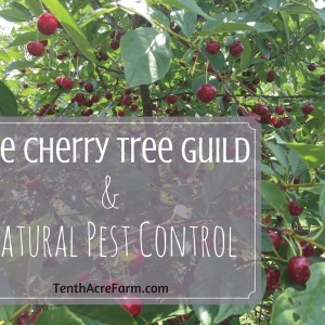 The Cherry Tree Guild and Natural Pest Control