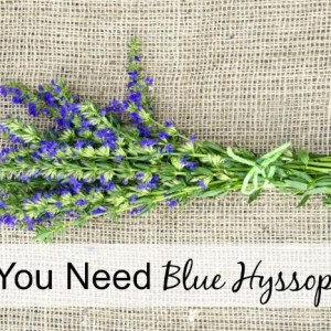 Why You Need Blue Hyssop