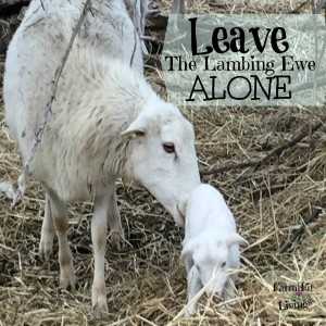 Why You Should Leave Lambing Ewes Alone