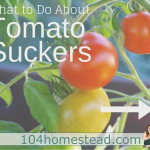 What to Do About Tomato Suckers