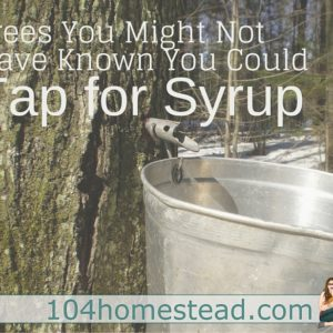 Trees You Can Tap for Syrup