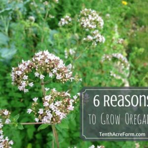 6 Reasons to Grow Oregano