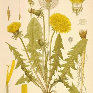 Helpful Herbs: Dandelions
