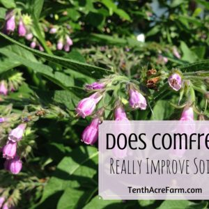 Does Comfrey Really Improve Soil?