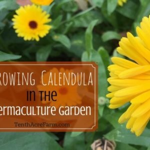 Growing Calendula in the Permaculture Garden