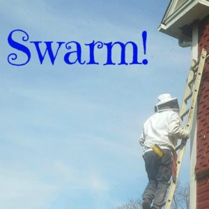 How we hived a honey bee swarm
