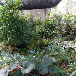 Winter vegetable gardening in the sub-tropics