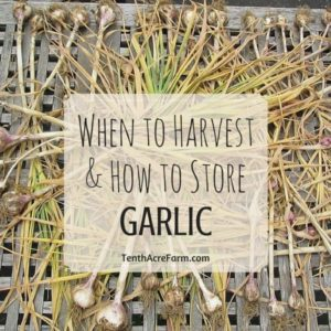 When to Harvest and How to Store Garlic