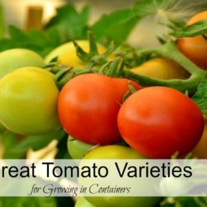 3 Great Tomato Varieties for Container Gardening