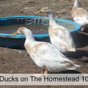 Raising Ducks on The Homestead 101