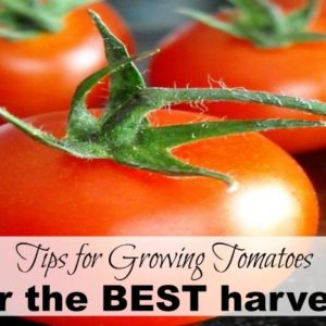 Tips for Your Best Tomato Harvest EVER