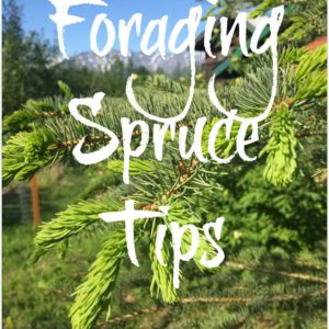 Foraging Spruce Tips