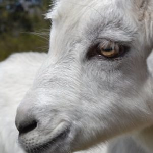 4 things no one tells you about goats
