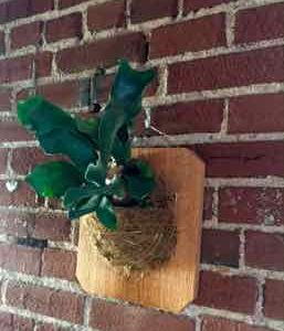 How To Mount and Care for Staghorn Ferns