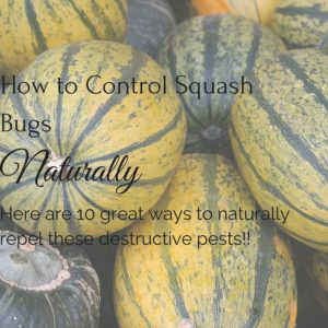 How to Control Squash Bugs, Naturally