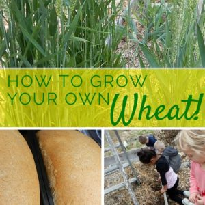 How to Grow your Own Wheat