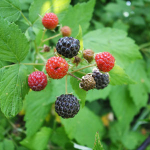 Forage Black Raspberries