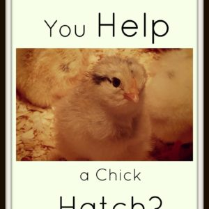 Helping a Chick Hatch: Should You Do It?
