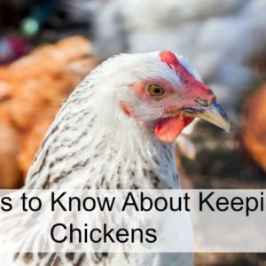 6 Things You Should Know About Keeping Chickens