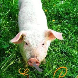 raising pigs 101 – what i learned about pigs