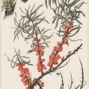 Helpful Herbs: Sea Buckthorn